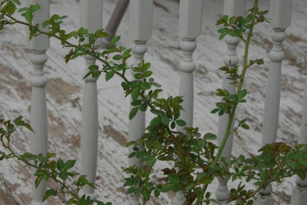 Early spring rose branches