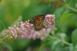Monarch on my Butterfly Bush