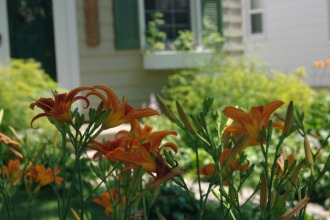 Lovely Daylilies