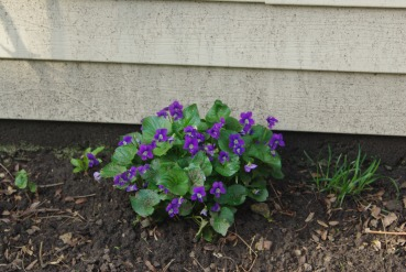 First violets