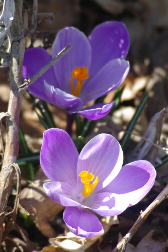 2012Marchflowers03142012miscFairlane 085