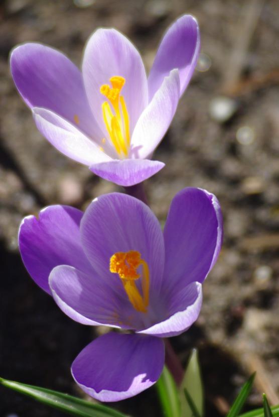 2012Marchflowers03142012miscFairlane 086