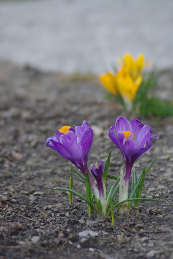 2012Marchflowers03142012miscFairlane 089