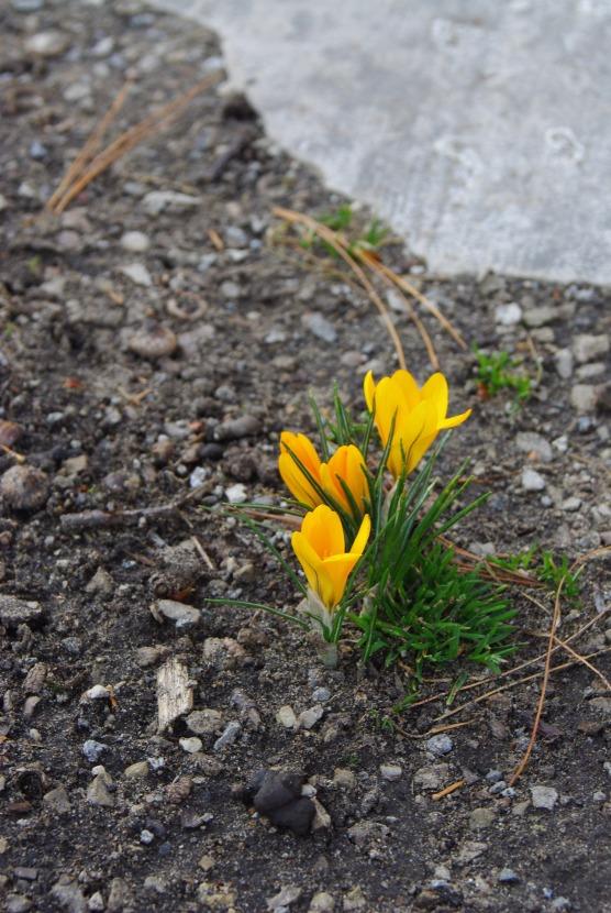 2012Marchflowers03142012miscFairlane 099
