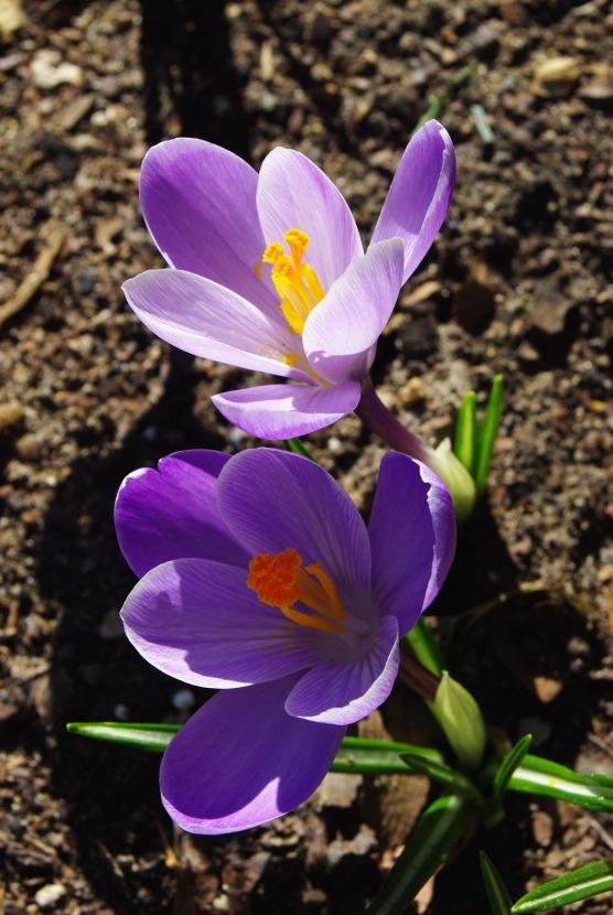 2012Marchflowers03142012miscFairlane 102