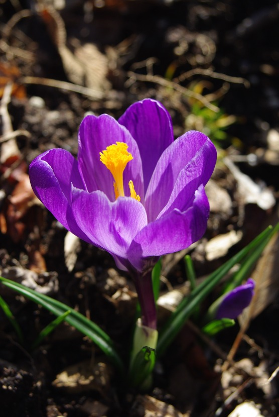 2012Marchflowers03142012miscFairlane 105