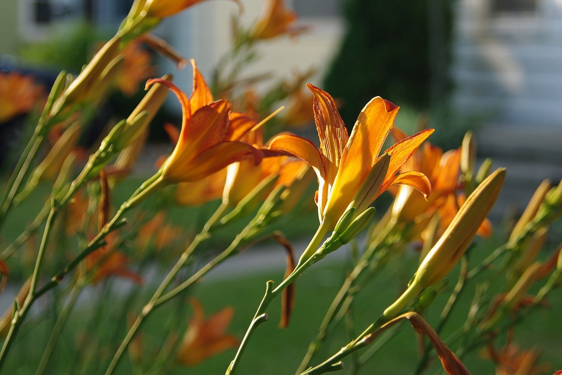 orangelilies1