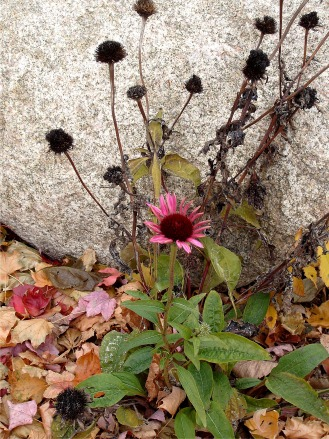 Noticed the contrast of the one beautiful living flower against the background of the dead ones and the cold stone.