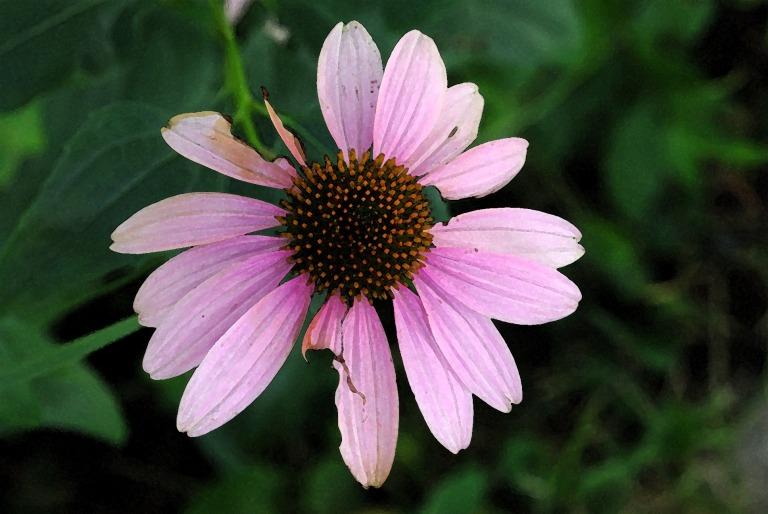 PinkFlowerspinkcornflowerwtrclr