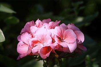 PinkFlowerspinkgeraniums