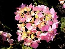 PinkFlowerspinkhydrangeaglobeinkoutlines