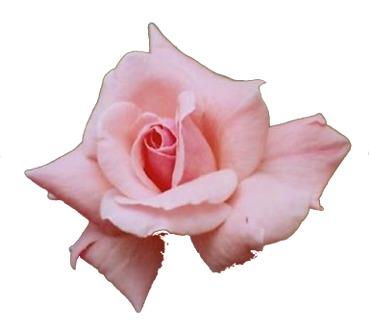 PinkFlowerspinkrose2