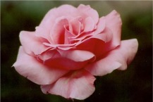 PinkFlowersPINKROSELARGE
