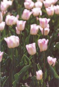 PinkFlowerspinktulipslgt