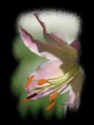 liliesofieldlilyblack2