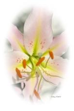 liliesofieldlilylightpinkcircleedge