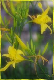 liliesofieldlilyyellowedge