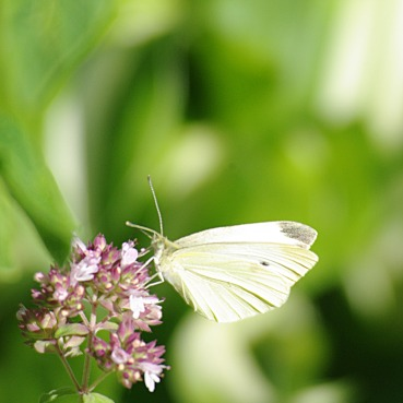 White butterfly on my oregano
