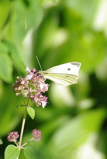 whitebutterfly2