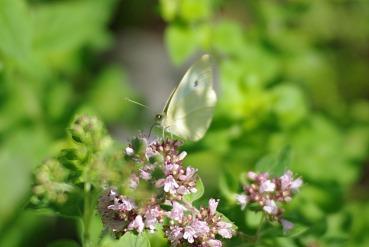 whitebutterfly3