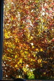 The Maple Tree outside my studio window is glorious at this time of year!