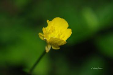 YellowNature2009miscflowersjune2009garden 096