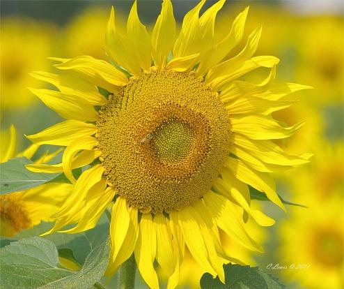 YellowNaturebackupsave2011sunonepin