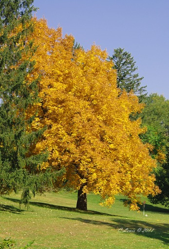 YellowNatureyellowtreewithpine