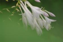 SecondThirdshostaflowers3