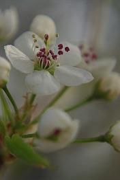ThirdThirdswhiteblossoms4