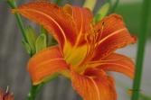vibrant2009miscflowersjune2009garden 149