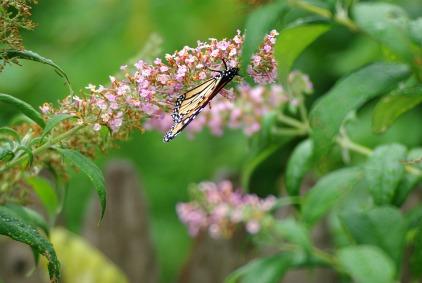 Butterflies2012Julyfoodstormbutterflymisc 250