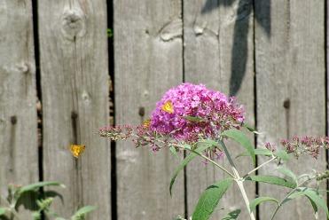 Butterflies2014AugButterflies 002