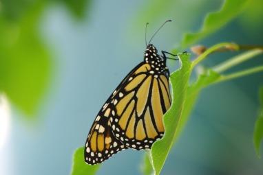 Butterflies2014AugMonarchButterfly 012