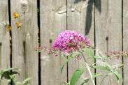 Butterflies22014AugButterflies 001