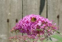 Butterflies22014AugButterflies 011