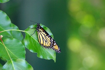 Butterflies22014AugMonarchButterfly 005