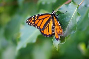 Butterflies22014AugMonarchButterfly 014