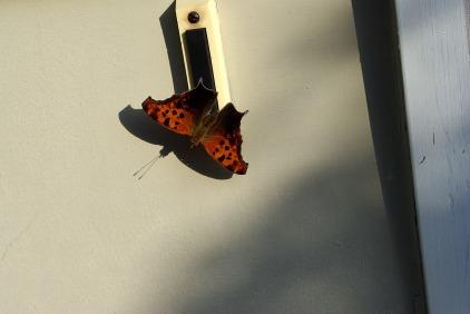 Butterflies2JulyMiscButterflies 011