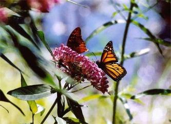 Butterfliesbutterfliesonmilkweedflower