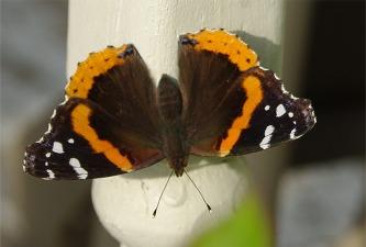 ButterfliesButterfly1