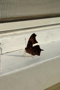 ButterfliesJulyMiscButterflies 018