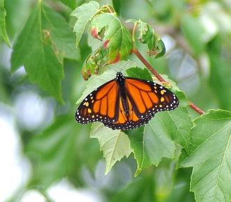 ButterfliesPicture1