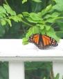 ButterfliesPicture3
