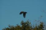 VultureHawks 012