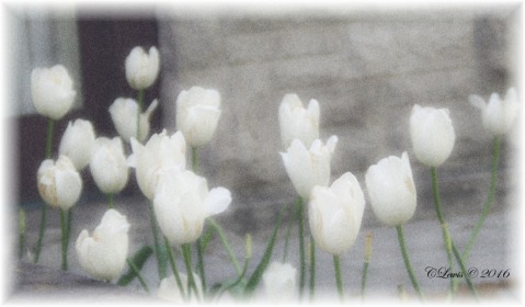 Spring2016backupsave2011whitetulipsfadededges