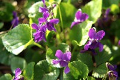 Spring2016violets