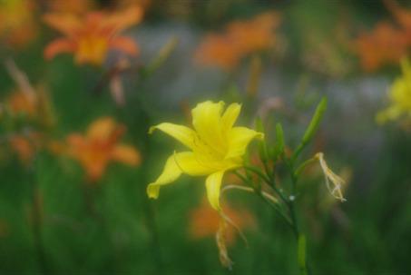 fogflower