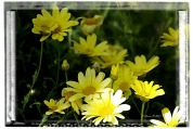 frameyellownatureyellowflowerswtrclr2