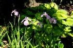 Enhanced Japanese Iris